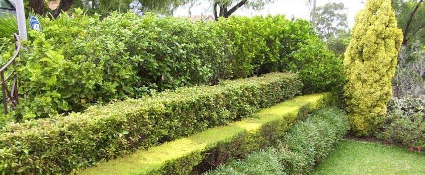 Забор из живой изгороди своими руками: посадка и уход