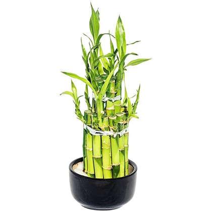 Купить Бамбук Лаки 2 ронд 9х18 см дешевле