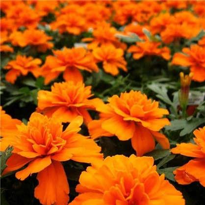 Бархатцы отклонённые Бонанза цвет оранжевый