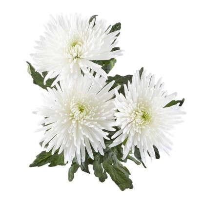 Купить Букет Хризантема Анастасия 60 см 3 шт. дешевле