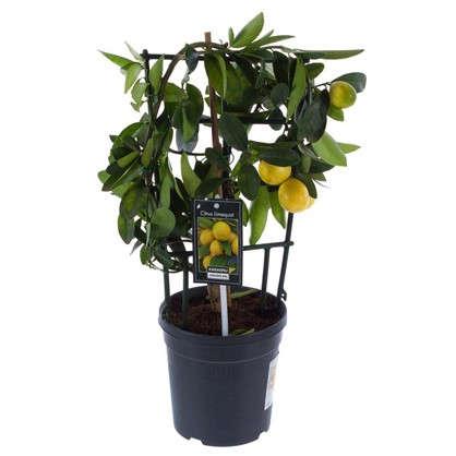 Цитрус Вулкан Лимон 15х50 см