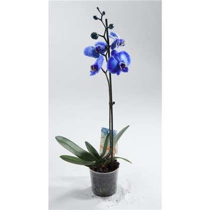 Фаленопсис 12х45 см цвет синий