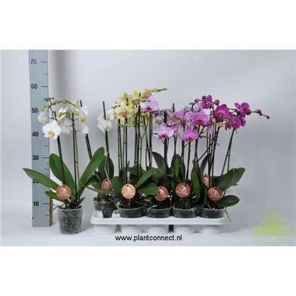 Купить Фаленопсис микс 2 стрелка диаметр горшка 12 см высота растения 60 см дешевле