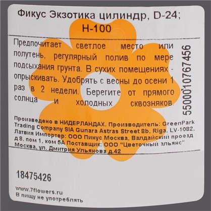Фикус Экзотика цилиндр 24х100 см