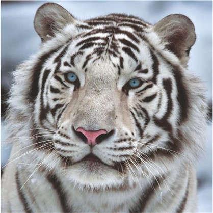Фотообои бумажные Бенгальский тигр 139х139 cм