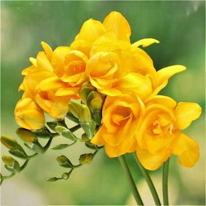 Фрезия махровая цвет жёлтый