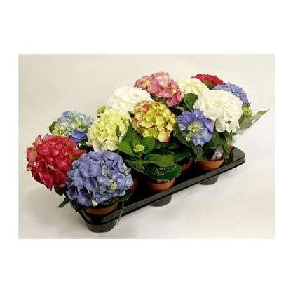Купить Гидрангея микс 3-4 цветка D105 H25 дешевле