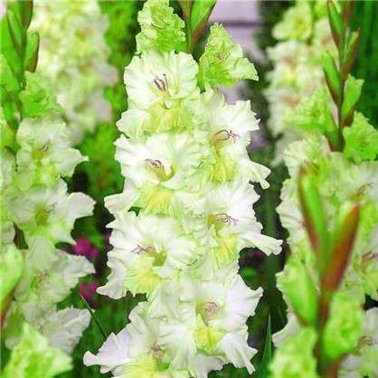 Гладиолус крупноцветковый Гыдан