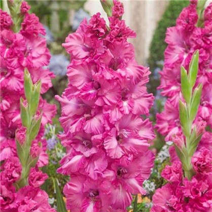 Гладиолус крупноцветковый Грозный