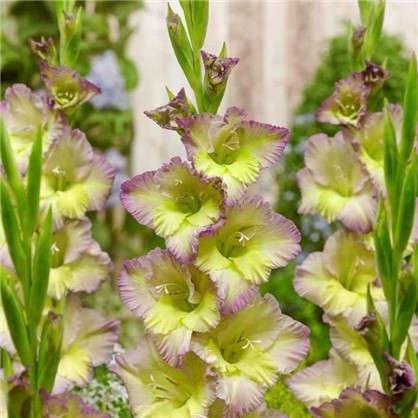 Гладиолус крупноцветковый Кендифлосс