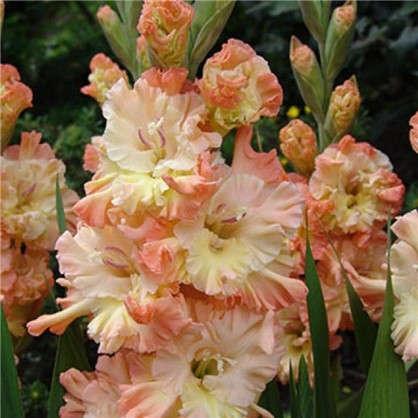 Гладиолус крупноцветковый Курск