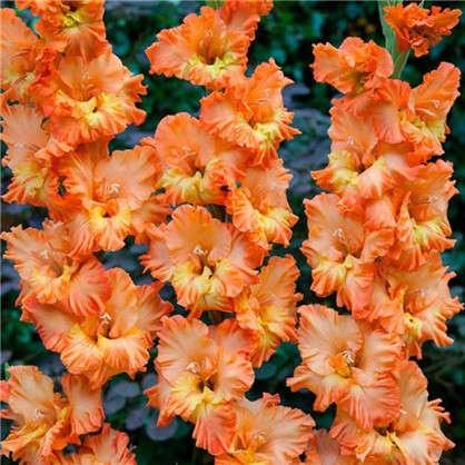 Гладиолус крупноцветковый Липецк