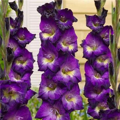 Гладиолус крупноцветковый Лола Монтез