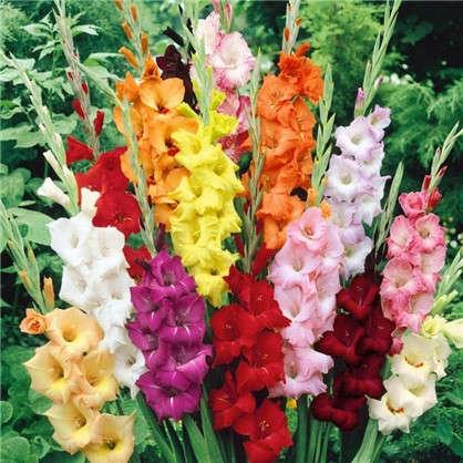 Купить Гладиолус крупноцветковый Микс дешевле