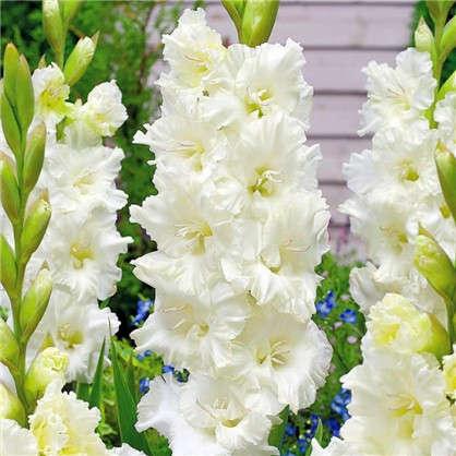 Гладиолус крупноцветковый Мурманск