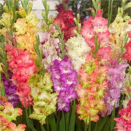 Гладиолус крупноцветковый Рашен Перрот микс