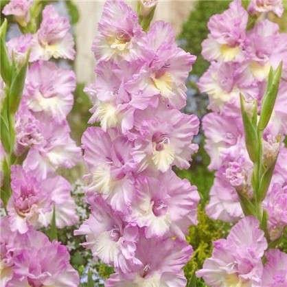 Гладиолус крупноцветковый Владивосток