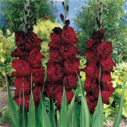 Гладиолус крупноцветковой Арабиан Найт