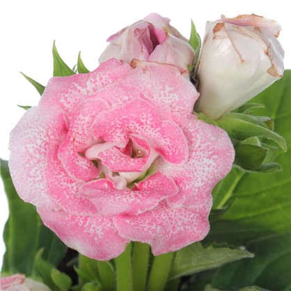 Купить Глоксиния Соната розовая дешевле