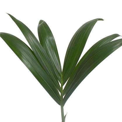 Ховея Forsteriana 17x70 см