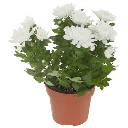 Хризантема Кристалл цвет белый