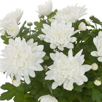Купить Хризантема Кристалл цвет белый дешевле