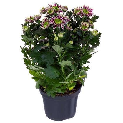 Купить Хризантема Саба 12х25 см дешевле