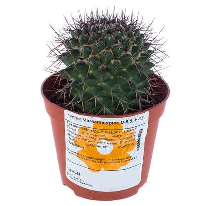 Купить Кактус мамиллярия 85х15 см дешевле