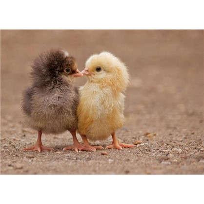 Картина на холсте 30х40 см Цыплята