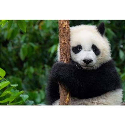 Картина на холсте 30х40 см Панда