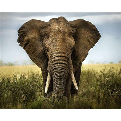Картина на холсте 40х50 см Слон