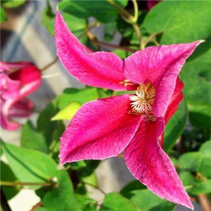 Клематис ботанический Принцесса Диана