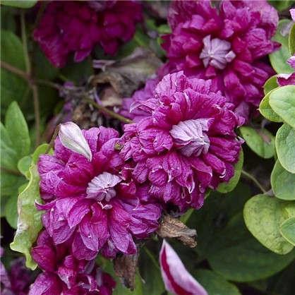 Купить Клематис ботанический Пурпуреа Плена Элеганс дешевле