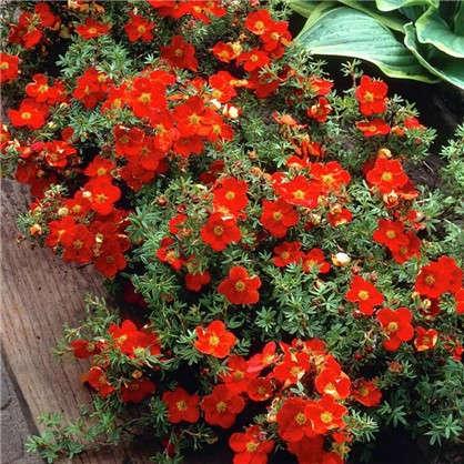 Купить Лапчатка кустарниковая Ред Эис С3/20-40 см дешевле