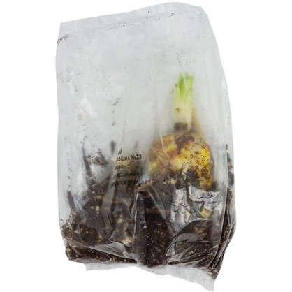 Купить Лилии лонгифлорум Цирано размер луковицы 14/16 1 шт. дешевле