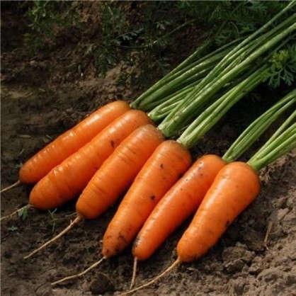 Морковь Каскад F1