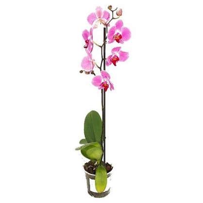 Орхидея Фаленопсис 12х50 см