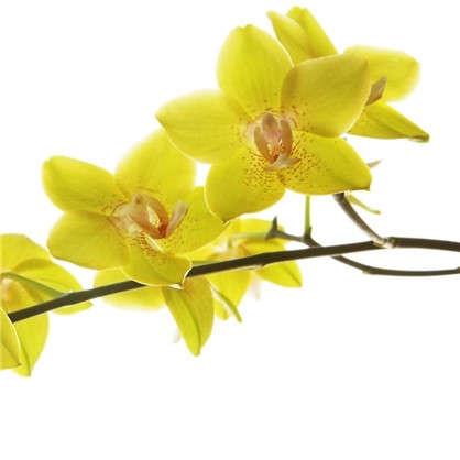 Орхидея микс 12х60 см