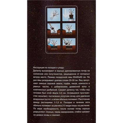 Пион древесный Прозрачная роса (в тубе)