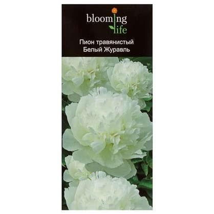 Пион травянистый Белый Журавль (в тубе)