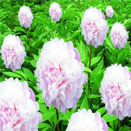 Пион травянистый Pозовый сад в тубе