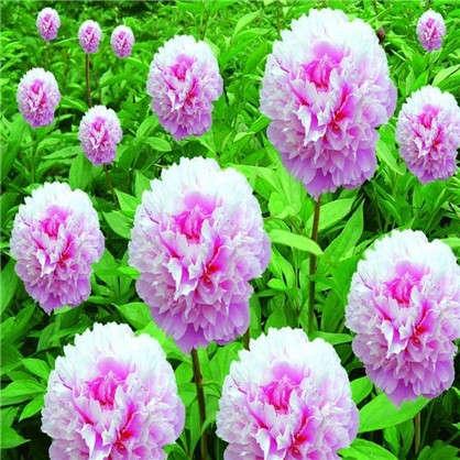 Пион травянистый Pозовое облако