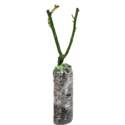 Купить Роза бордюрная Сноу Вит в коробке дешевле