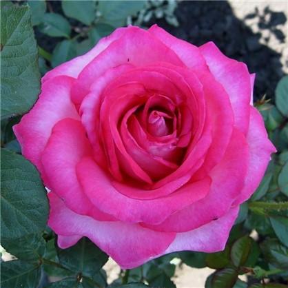 Роза чайно-гибридная Аква цвет розовый С2