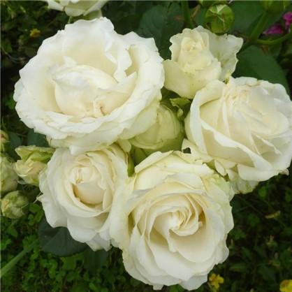 Роза чайно-гибридная Аваланж С2 цвет белый
