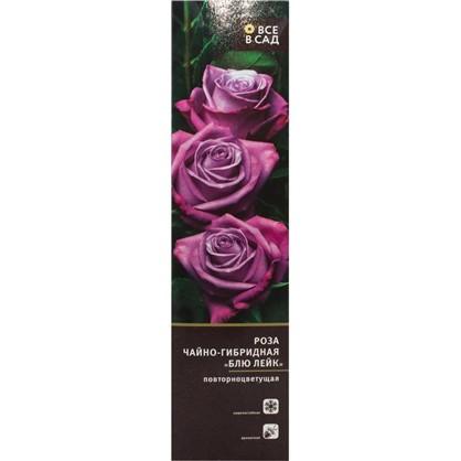 Купить Роза чайно-гибридная Блю Лейк в тубе дешевле