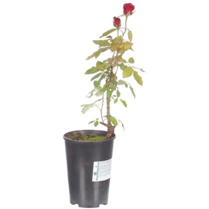 Купить Роза чайно-гибридная Интуишн С2 цвет красный дешевле