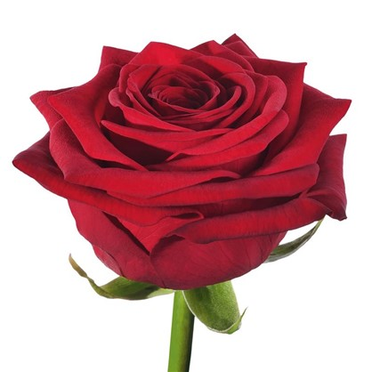 Роза чайно-гибридная Рэд Наоми С2 цвет красный