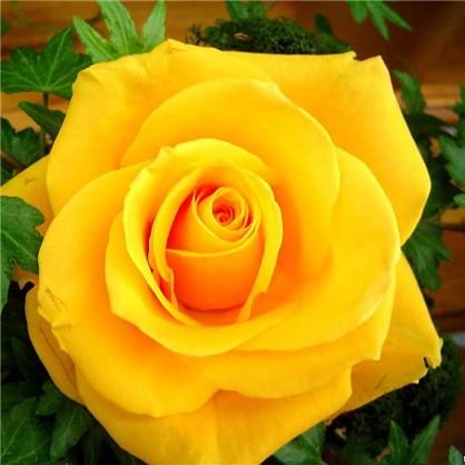 Роза чайно-гибридная Сфинкс Голд цвет жёлтый С2