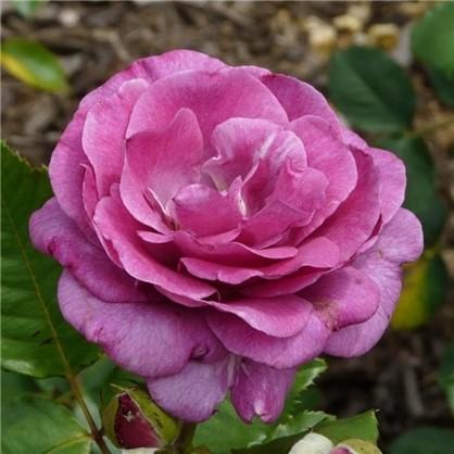 Роза чайно-гибридная Виролетт Парфюм